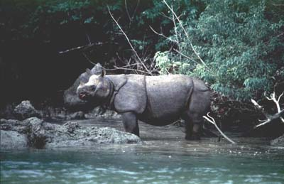 RhinoCeros of Tour Ujung Kulon