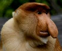 POBOSCIS MONKEY BORNEO