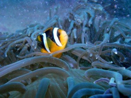 under water krakatau clown fish